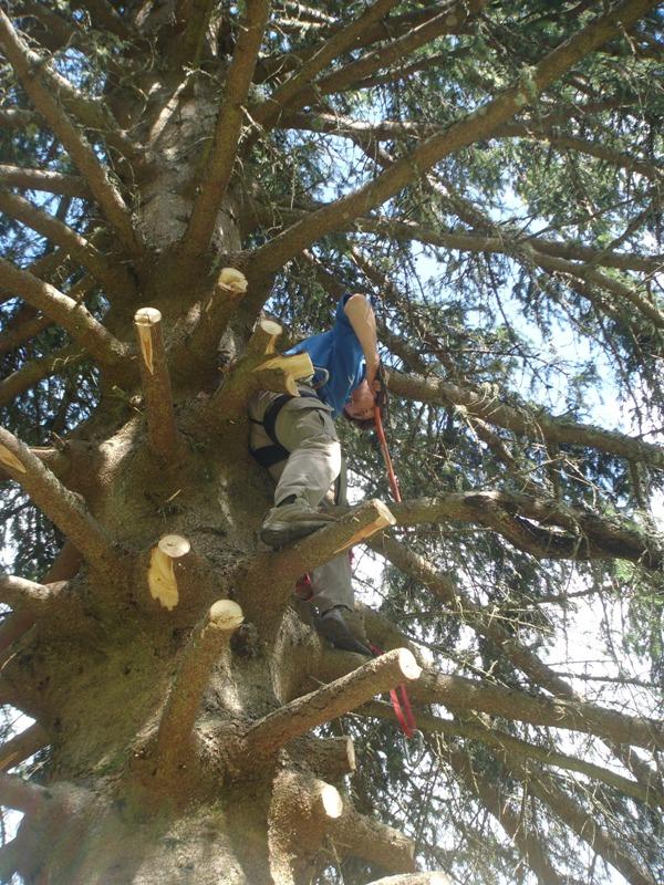 tree felling 3