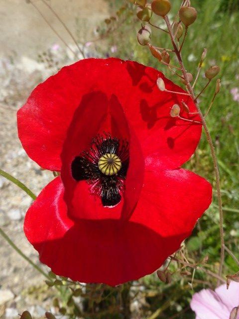 Meteora poppy