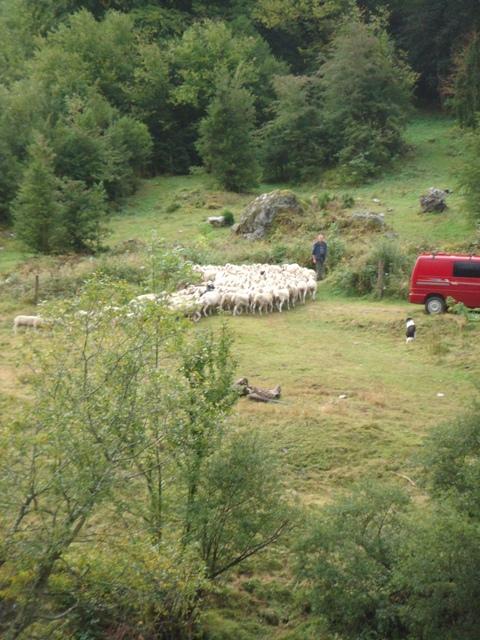 Sheep being taken away